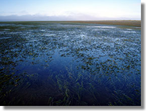 Native eelgrass, Zostera marina, in Humboldt Bay. Photo courtesy of Annie Eicher/UC ANR.