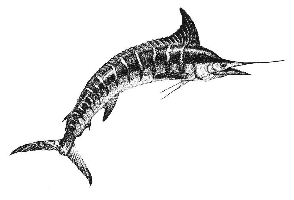 Drawing of a billfish