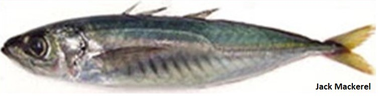 Green and silver jack mackerel