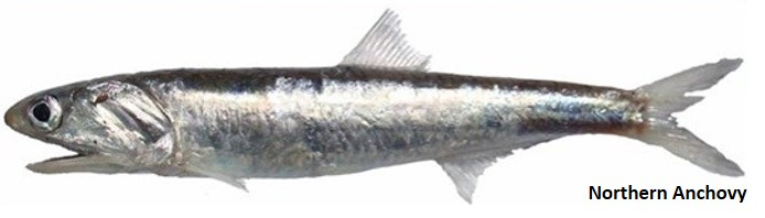 Northern anchovy