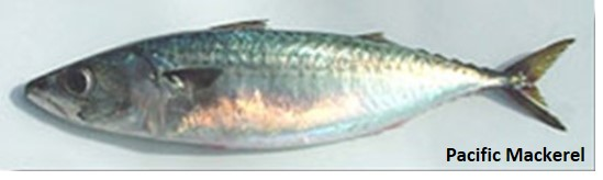 Green and silver Pacific mackerel