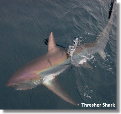 Thresher shark underwater