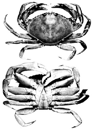 Figure 3 - crab illustrations