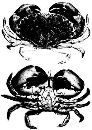 figure 4 - crab illustrations