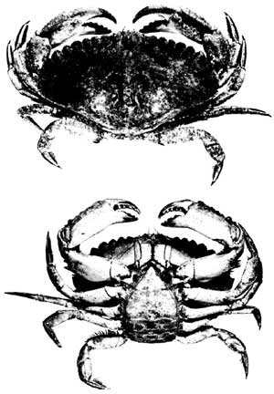 Figure 5 - crab illustrations