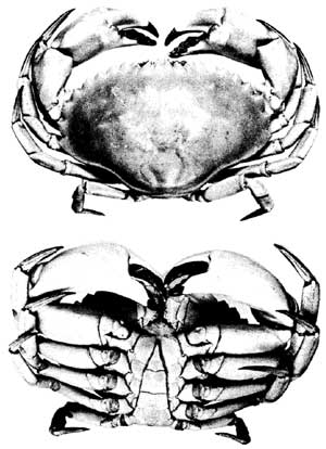 Figure 6 - crab illustrations