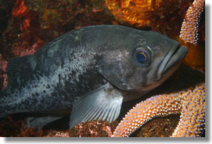 Black Rockfish; Photo by Steve Lonhart of Simon/NOAA