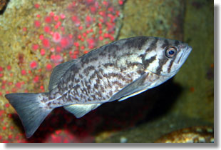 Blue Rockfish; Photo by Steve Lonhart of Simon/NOAA