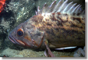 Brown Rockfish; Photo by Steve Lonhart of Simon/NOAA