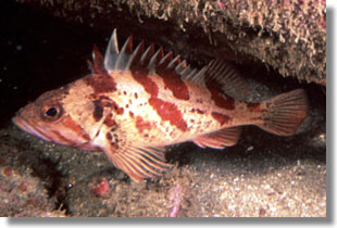 Calico Rockfish; CDFW Staff Photo