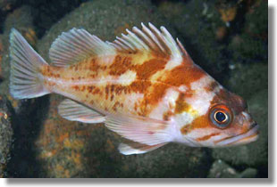 Copper Rockfish; Photo by Steve Lonhart of Simon/NOAA