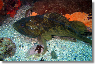 Grass Rockfish; Photo by Steve Lonhart of Simon/NOAA