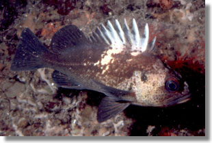 Quillback Rockfish; CDFW Staff Photo