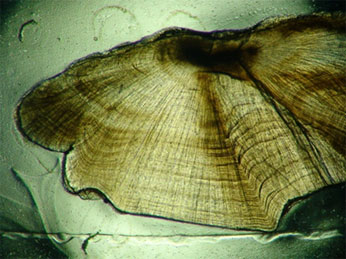 Cross-section of a sagittal otolith taken from a barred sand bass collected in the 1990s. The otolith was aged to 17 years. CDFW file photo.
