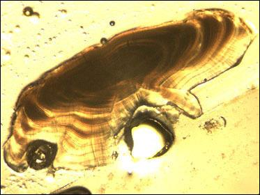 Sectioned kelp greenling otolith viewed under dissecting microscope