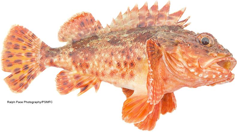 Chucklehead fish