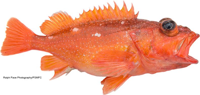 California marine sportfish identification rockfish for California saltwater fish species