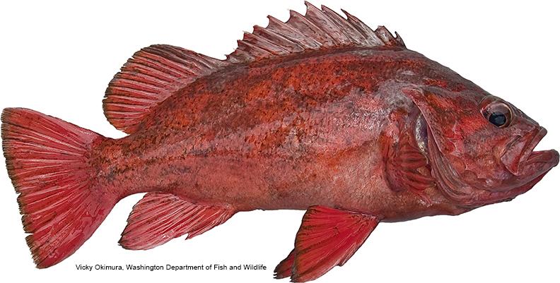 Single Squid Rock Fish Rock Cod Rig Choose Color  Lingcod Red Snapper