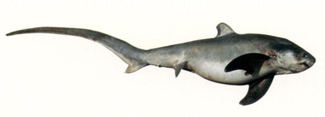 california marine sportfish identification sharks
