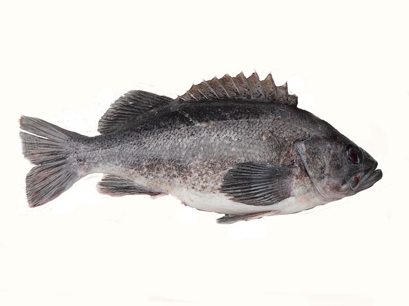 California Marine Sportfish Identification: Rockfish
