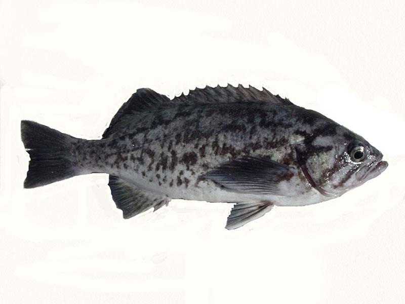 Olive Rockfish