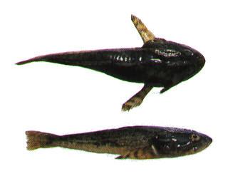 fish Saltwater bottom id feeding