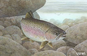 Rainbow Trout. Photo courtesy USFWS