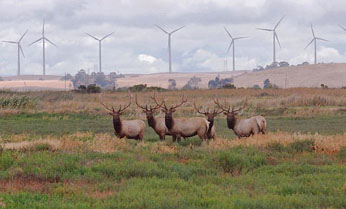 elk in field with wind turbines in the background