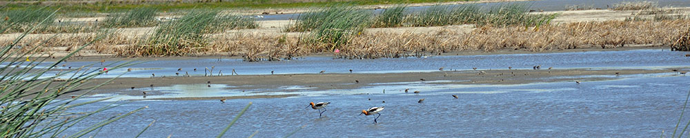 avocets (birds) wading