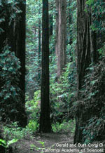 Coast Redwoods (link opens in a new window)