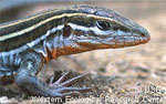 Orange-throated Whiptail