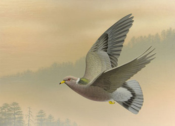 illustration of band-tailed pigeon, flying