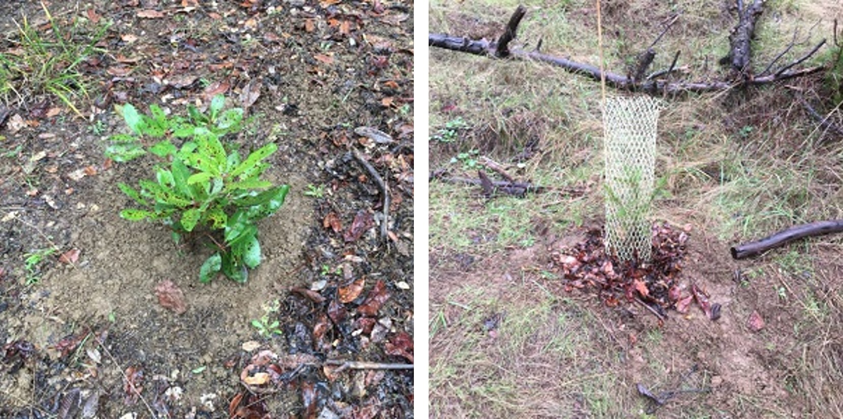 young madrone and conifer planted in the Bull Creek Watershed