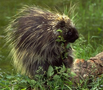 Photo of Porcupine by Gerald and Buff Corsi