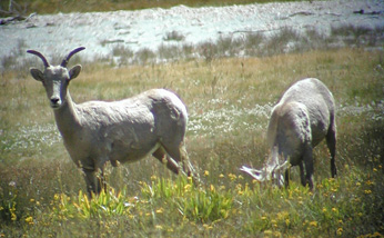 Ewes in Soldier Meadow