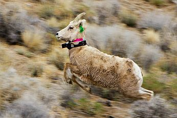 Sierra bighorn ewe leaving release site with collars visible