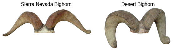 Horn Comparison Desert vs. Sierra Bighorn