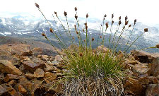 Alpine sedge