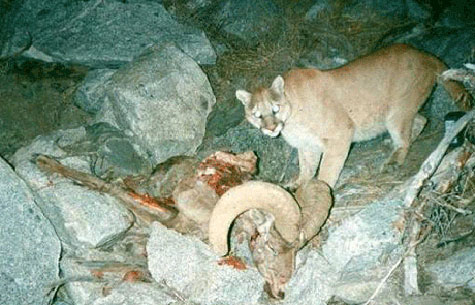 Mountain lion at bighorn kill