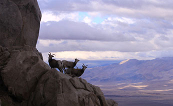 Ewe group high above the Owens Valley on a cloudy fall day.
