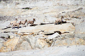 Large ram group on granite slabs in the Rae Lakes basin.