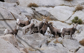 Mixed group or rams, ewes and lambs on Sierra east-side during winter.