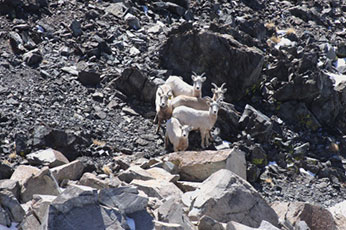 A group of ewes at the metamorphic - granitic boundary common in Pine Creek