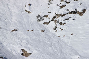 Early winter snows requires migration in deep snow for bighorn