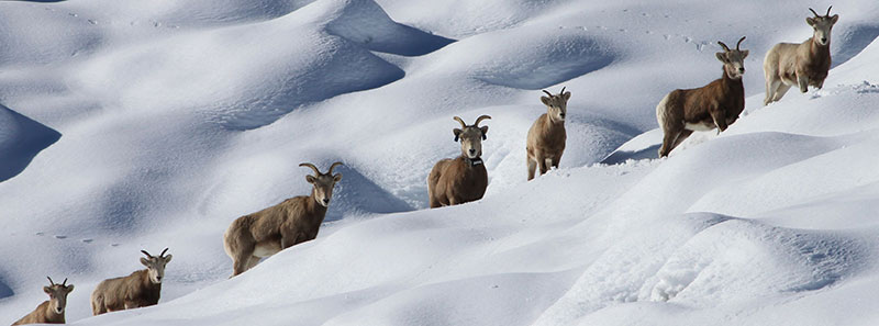 Group of sheeps in snow