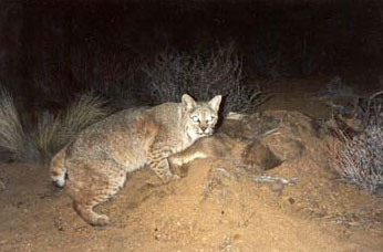 bobcat at night with deer carcass