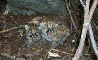 two mountain lion kittens