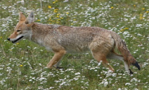 photo of coyote