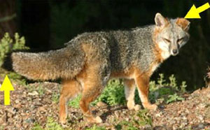 photo of gray fox with arrows pointing at ears and tail tip