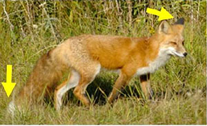 photo of Sierra Nevada red fox with arrows pointing at ears and tail tip